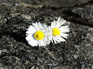 daisies flowers petals stone small