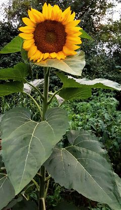 sunflower volunteer cameuponitsown photography