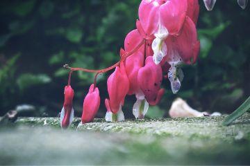 flower blossom nature bleedingheart