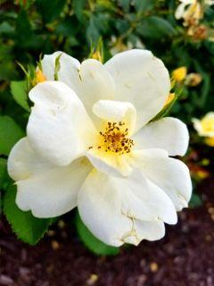 freetoedit flower plants white yellow