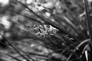 crocosmia blackandwhite simplicity minimalism emotions