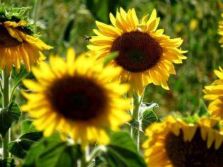photography sunflower bee nature emotions freetoedit