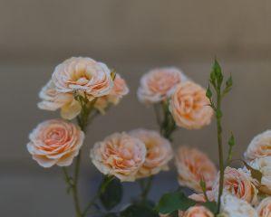 freetoedit roses natural flower beautiful