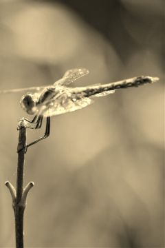 photography sepiaeffect dragonfly
