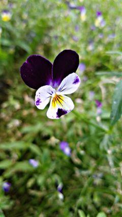 freetoedit flower purple colorful