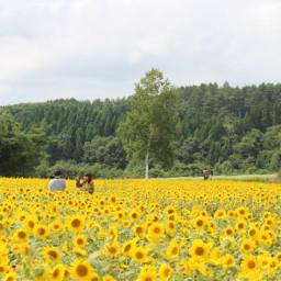 sunflower japan aomori hachinohecity