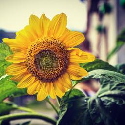 sunflower sunflowerphotography nature italy
