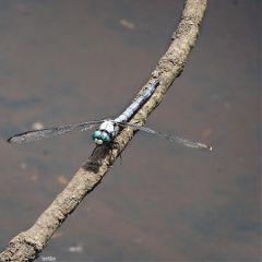 freetoedit dragonfly myoriginalphoto