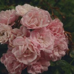 roses flowers nature photography freetoedit