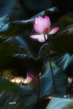 lotus flowers freetoedit