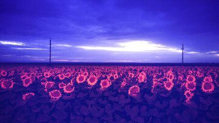 freetoedit sunset sunflowers