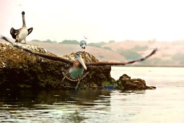 photography nature pelican birds