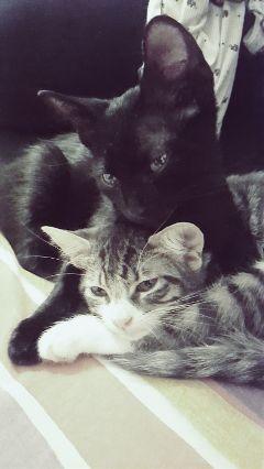 freetoedit mypet animal cat cats
