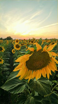 sunflower agriculture field farming kansas
