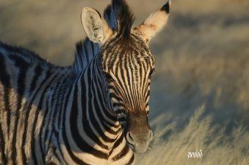 africa nature zebra naturephotography wildanimals