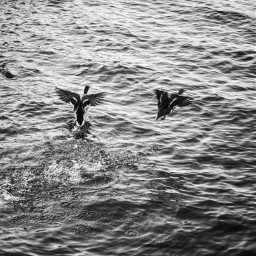 ducks birdsinflight blackandwhite photography