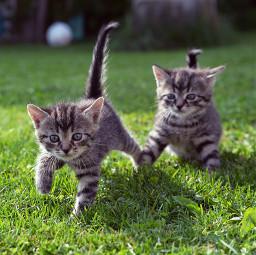 cats babycats kitten kitty cat pccutepets freetoedit