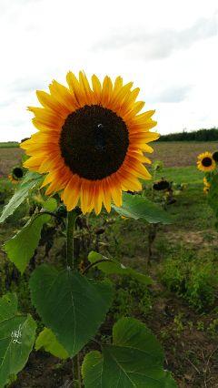 sunflower @csefi nature yellow naturelover