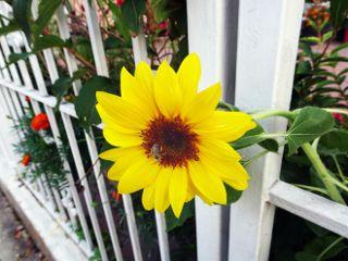 freetoedit yellow flower fence bee
