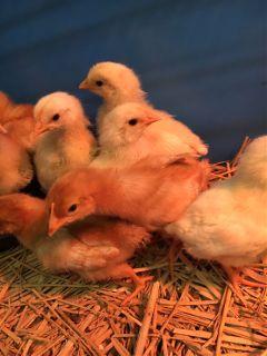 chicken cute yellow freetoedit