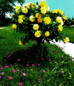 this rose lawn colorful beautiful freetoedit