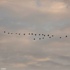 freetoedit eveningsky flyinggeese myoriginalphoto