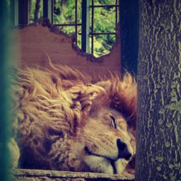 lyon sleeping sleepingtime animal animalphotography