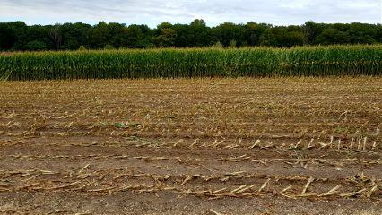 walk corn cornfield harvest plants