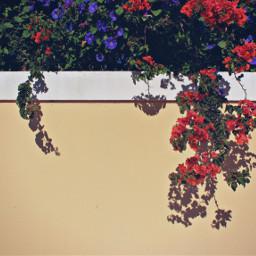exploringthecitystreets housewall bougainvilleas bindweedflowers urbannature