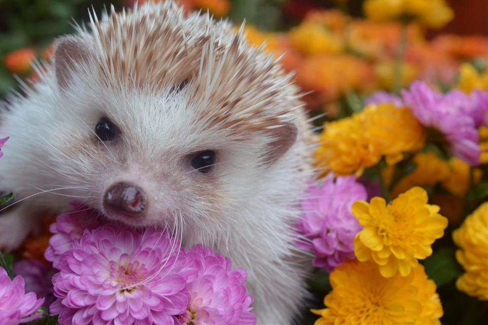 #animal #nature #hedgehog #cute #flowers #photography