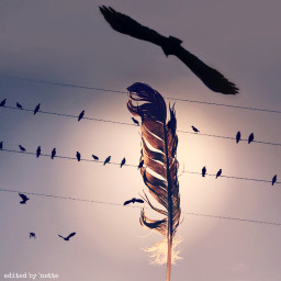freetoedit feather birdsonawire