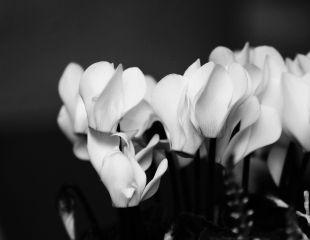 freetoedit flower blackandwhite
