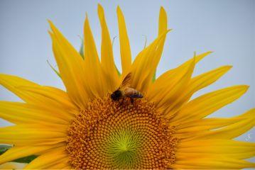 sunflower girasole bee beeonasunflower yellow dpcsunflowers
