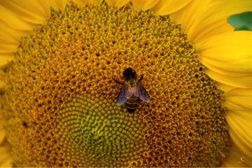 sunflower girasole bee yellowheart beeonasunflower dpcsunflowers