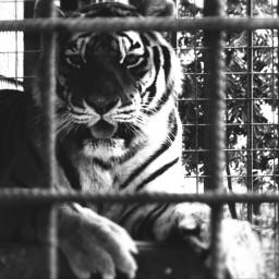 tiger tigerface tigerphoto animal animalphotography