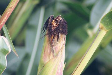 freetoedit corn autumn