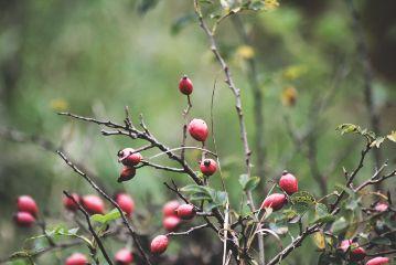 freetoedit rosehips autumn
