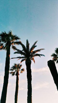 freetoedit photpgraphy sunet palmtrees dalmatia