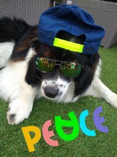 dog elodogbreed dogsofpicsart funny disguise freetoedit