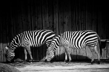 freetoedit zoo zebras animals blackandwhite