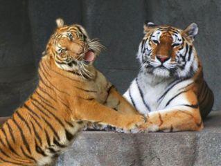 tiger tigers freetoedit