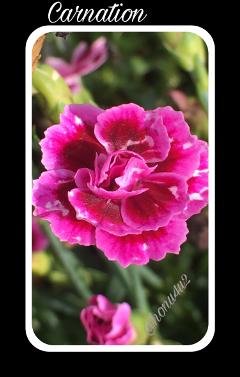 interesting nature carnation pink wet