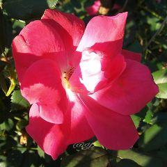 freetoedit nature rose