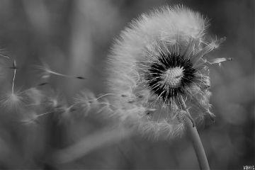 closeup nature dandelion blackandwhite freetoedit