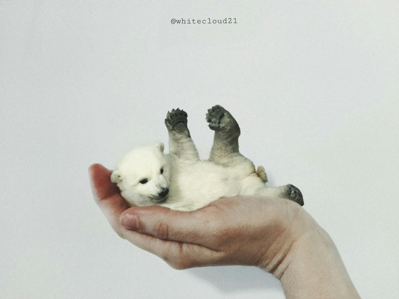 #polarbear #surreal #surrealism #snow #hand #fantasy #cute #bear #polar #white #cutebear #myart #myoriginaledit #madewithpicsart #madebyme #myphoto #petsan