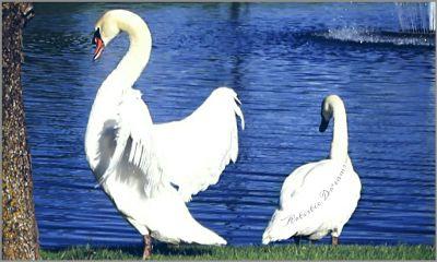 dpcwingedthings swans swan white birds