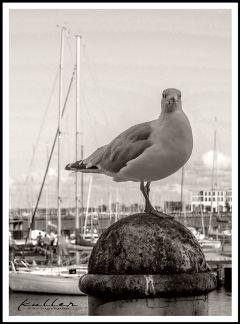 dpcwingedthings happy seagull warnemünde bird ostsee dpcwingedthings