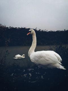 nature swans canal closeup adjusttool