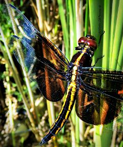 dragonfly insect wings macro closeup
