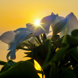 flower frangipani sunshine nature photography freetoedit